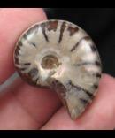 Petite Polished Ammonite Fossil