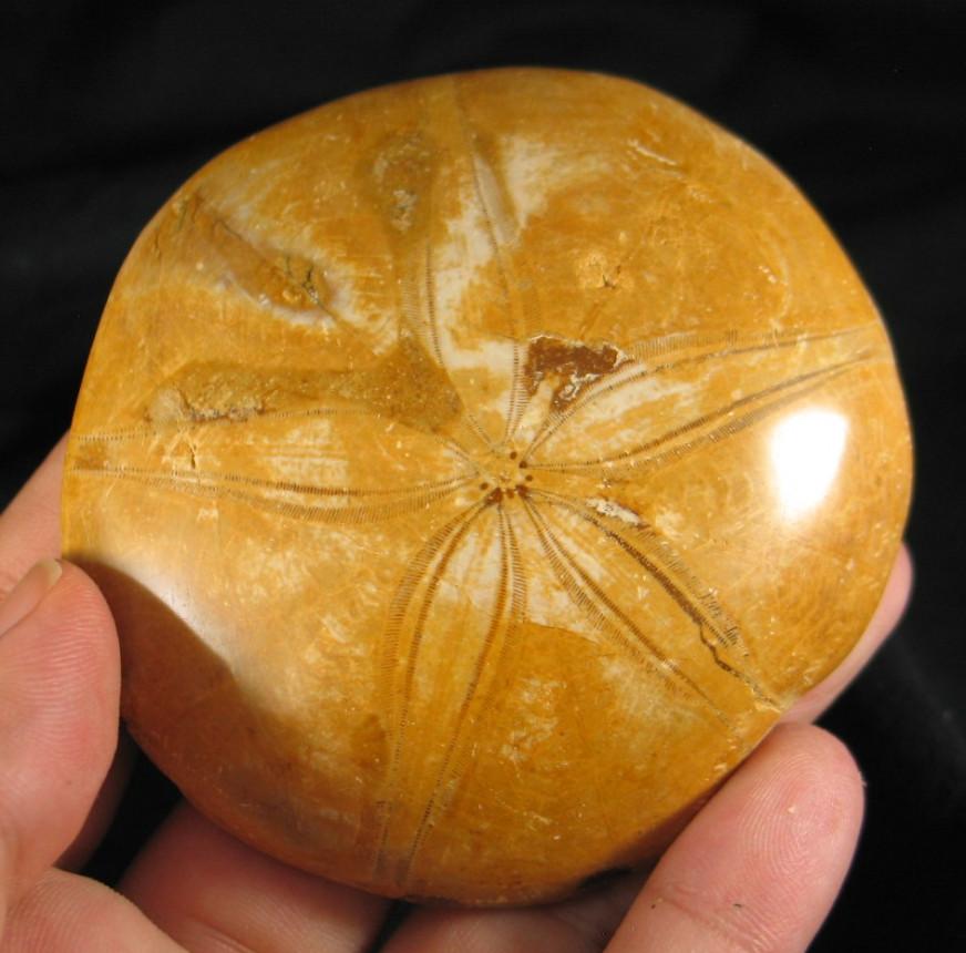 Etoile de Mer - Fossilized Sea Urchin :: Image is of piece for sale.